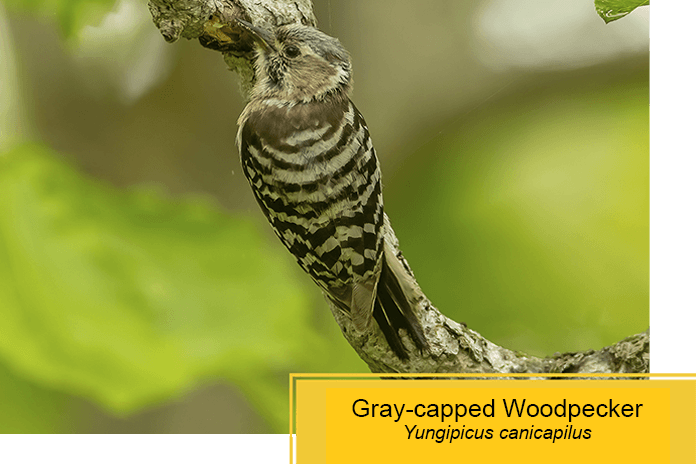 grey-capped woodpecker