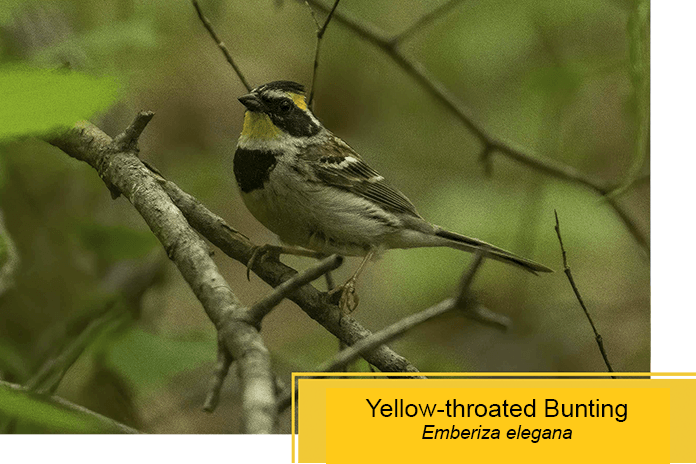 yellow throated bunting