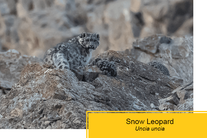 find the snow leopard